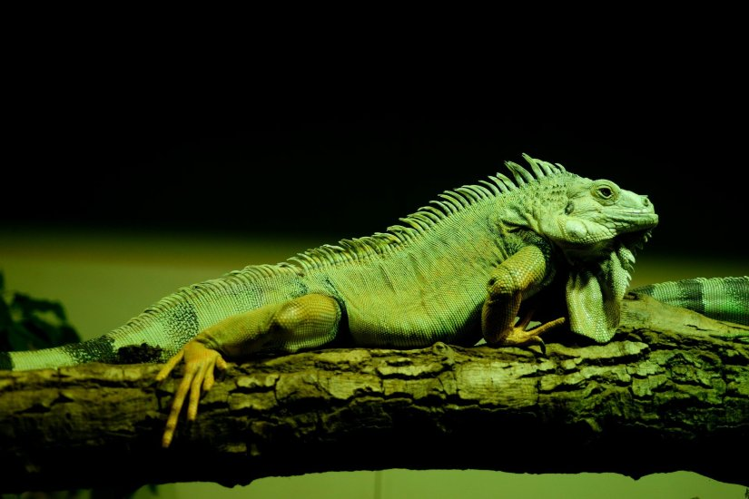 ¿Cómo cuidar bien a una iguana?