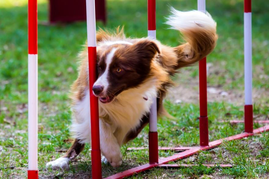 Agility para perros Mascota Amiga