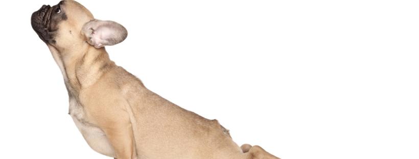 Doga para perros