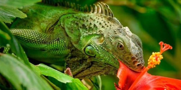 Que come iguana