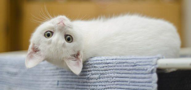 pautas para cuidar de un gato albino