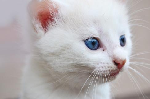cuidados de un gato albino.jpg