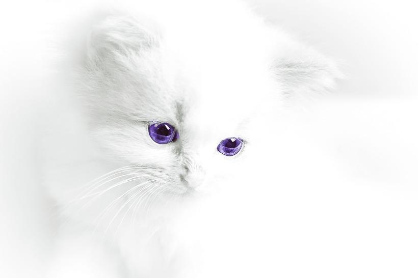 cuidar gato albino
