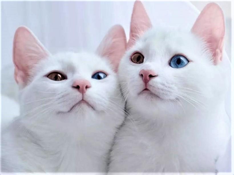 gato albino o blanco