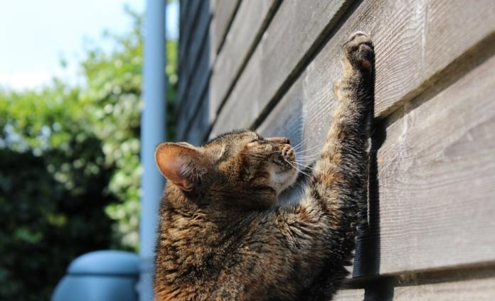 arañazo de gatos