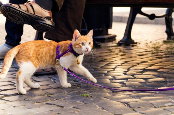 como pasear gato