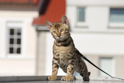 pasear a un gato