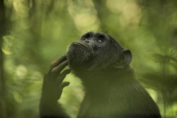 el pensador chimpance