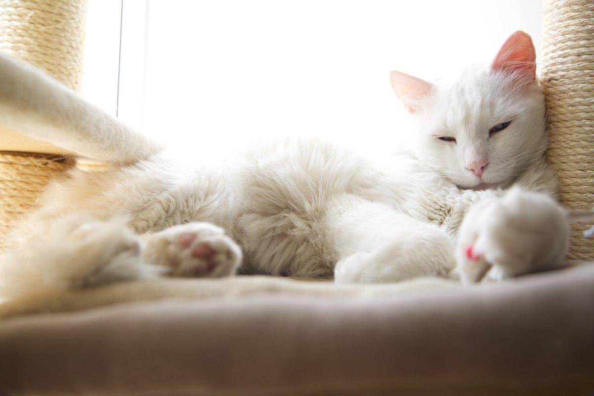 ¿Todos los gatos albinos son sordos?