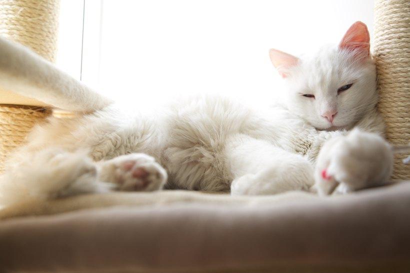 ¿Son los gatos albinos sordos