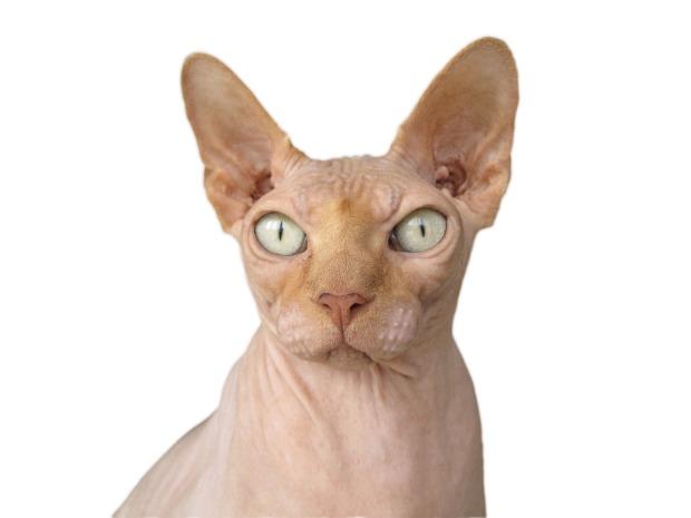 caracteristicas sphynx gato esfinge