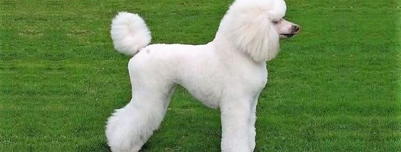 concurso de belleza canino