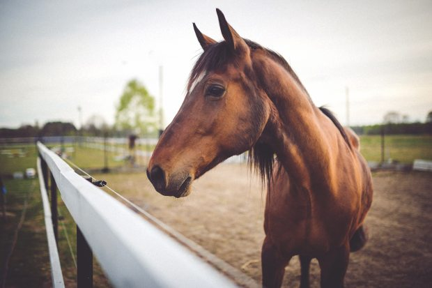 homeopatia animales caballo