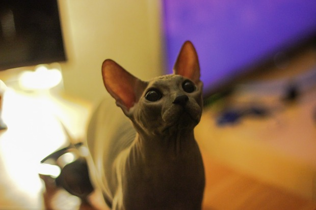 origen sphynx o gato esfinge