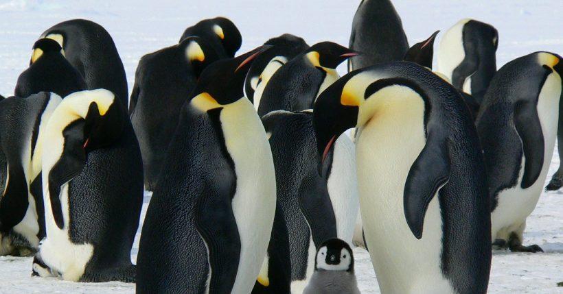 enamoramiento pinguinos