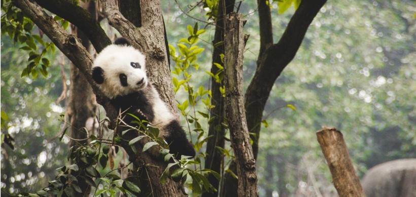 Curiosidades osos panda