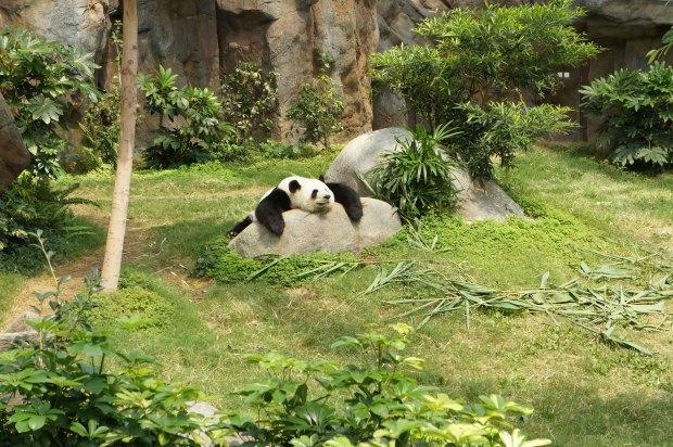 Las curiosidades sobre los osos panda