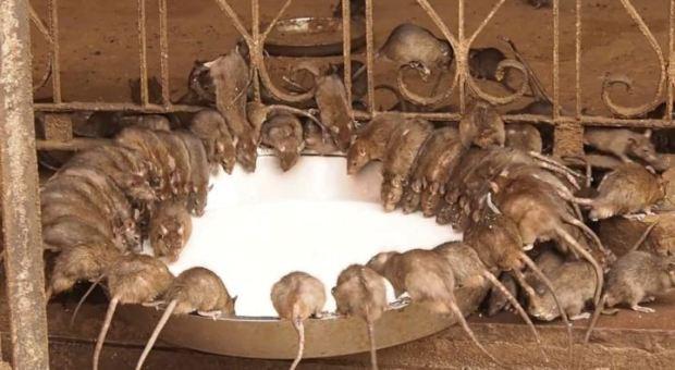 Karni mata ratas - Mascotaamiga
