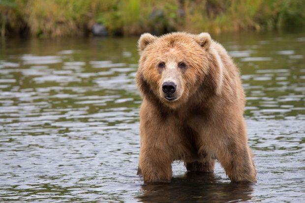 significado de los animales - significado del oso